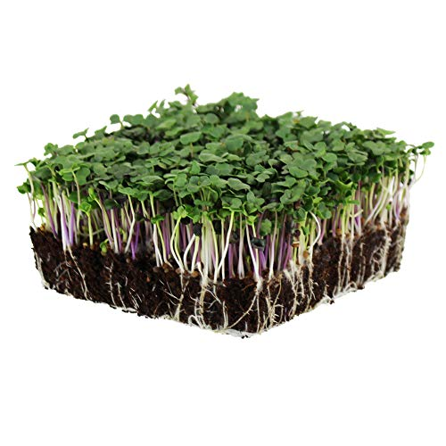 Spicy Micro Salad Mix Microgreens Seeds: 1 Lb - Non-GMO Seed Blend:...