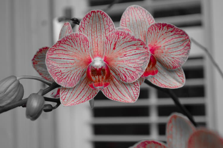 orchid ww