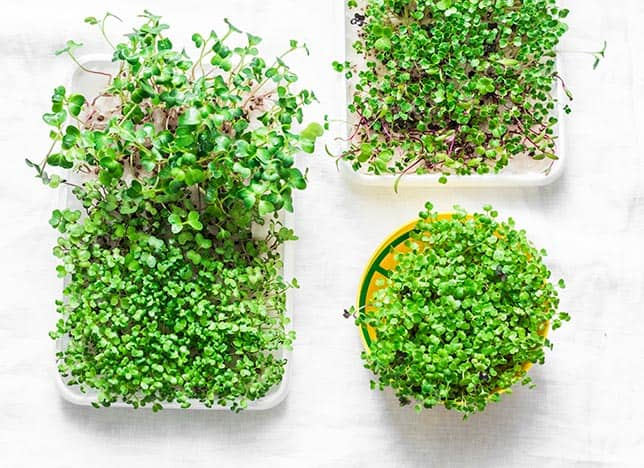 Top down photo of three containers of microgreens growing