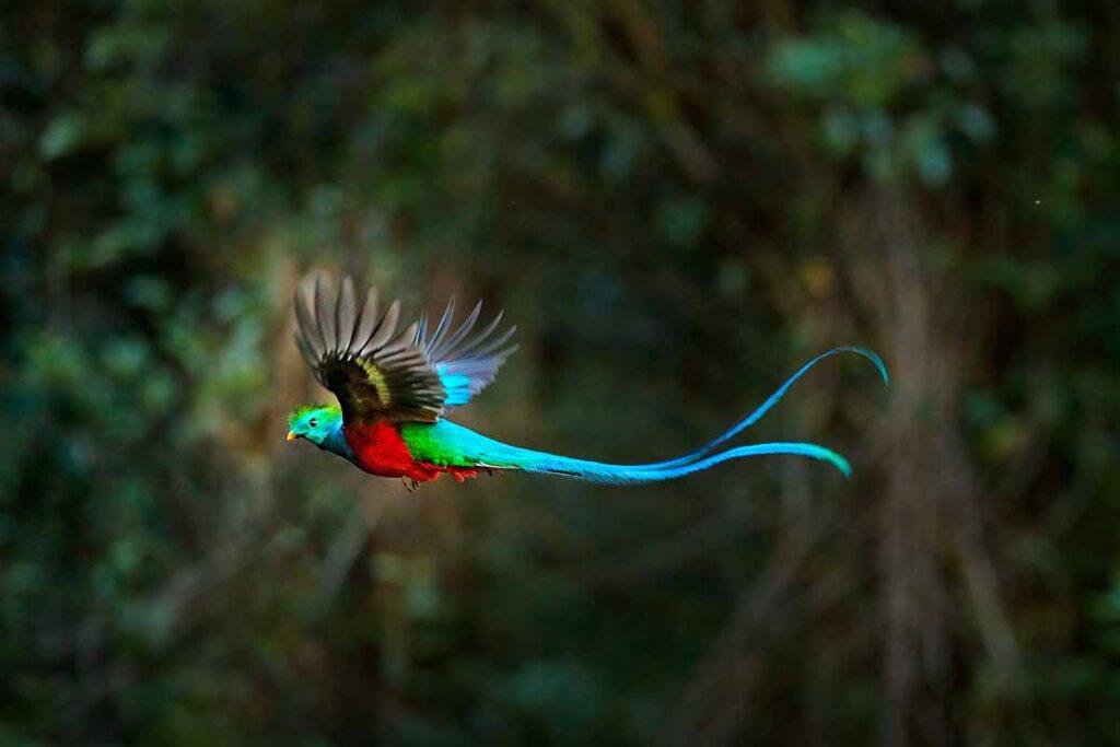 a resplendent quetzal bird in flight