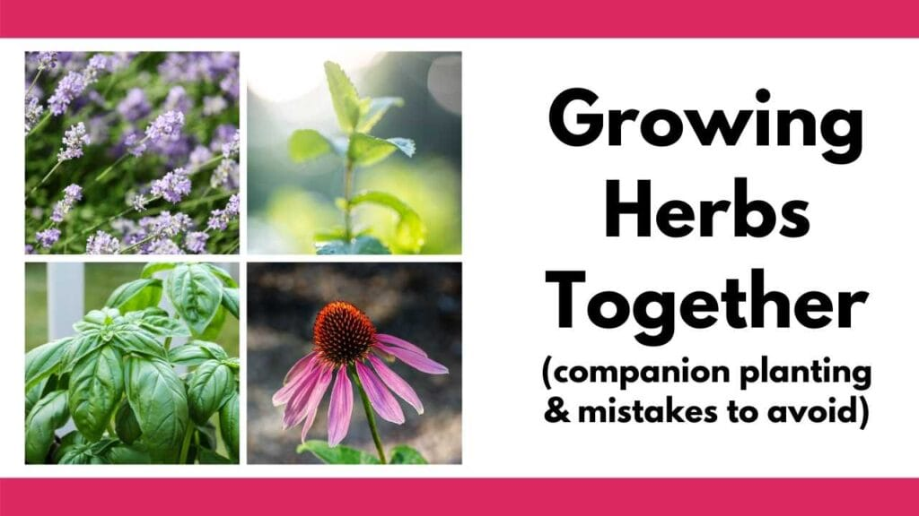 """Text """"growing herbs together (companion planting & mistakes to avoid)"""" next to a 2x2 grid of images with chives, mint, basil, and echinacea"""